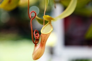 nepenthes-599856_640[1].jpg